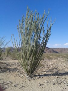 Un ocotillo (Joshua Tree)