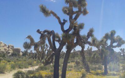 Joshua Tree – Un si surprenant désert